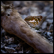 Purple emperor on dead bones